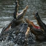 Maslow, emergency, up to your arse in alligators - do you have the skills to be successful?